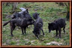 Loup du Canada - loup du Canada 34