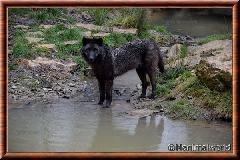 Loup du Canada - loup du Canada 35