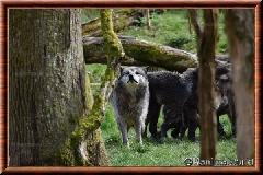 Loup du Canada - loup du Canada 36