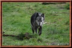 Loup du Canada - loup du Canada 37