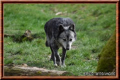 Loup du Canada - loup du Canada 38