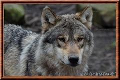 Loup gris commun - loup gris commun 1