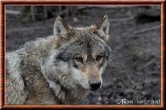 Loup gris commun - loup gris commun 2