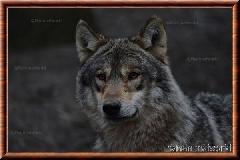 Loup gris commun - loup gris commun 4