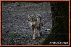 Loup gris commun - loup gris commun 5
