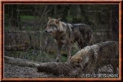 Loup gris commun - loup gris commun 7