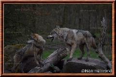 Loup gris commun - loup gris commun 6