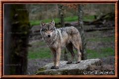 Loup gris commun - loup gris commun 9