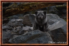Renard polaire - renard polaire 04