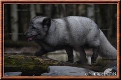 Renard polaire - renard polaire 06