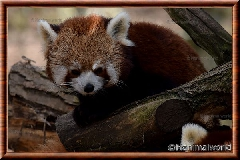 Album Panda roux