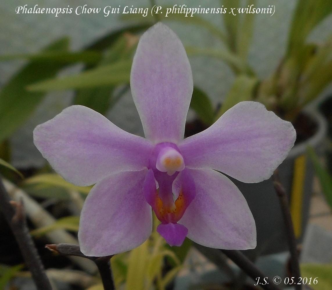 Phalaenopsis Chow Gui Liang 16051401543811420014225893