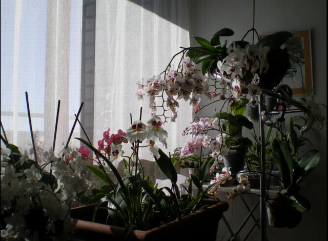 Phalaenopsis en extérieur - Page 2 16051701574420151714234078