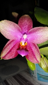 Phalaenopsis Sweet Memory (Liodoro) Mini_16052111371319357014242992