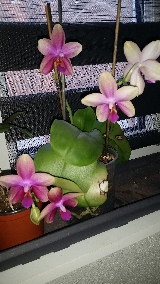Phalaenopsis Sweet Memory (Liodoro) Mini_16052111393819357014243000