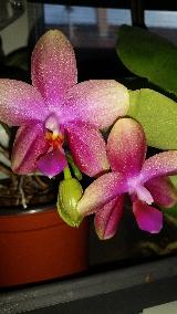 Phalaenopsis Sweet Memory (Liodoro) Mini_16052111395919357014243001