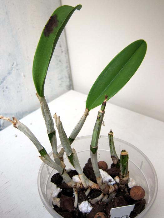 Cattleya malade - taches noires sur les feuilles 16052308285518325014249370