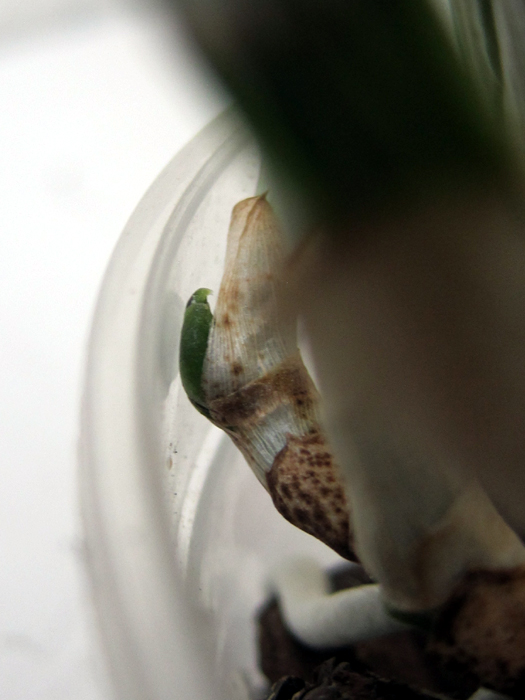 Cattleya malade - taches noires sur les feuilles 16052308285718325014249371