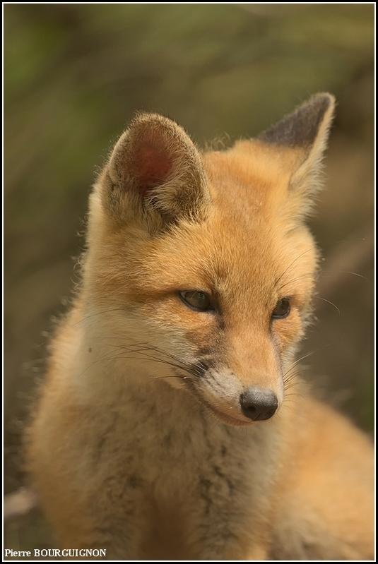Renard roux (vulpes vulpes) par Pierre BOURGUIGNON, photographe animalier belge
