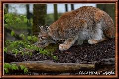 Lynx commun - lynx commun 20