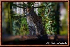 Lynx commun - lynx commun 2