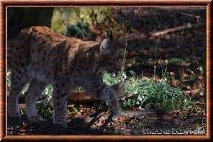 Lynx commun - lynx commun 3