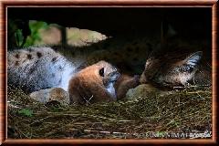 Lynx commun - lynx commun 5