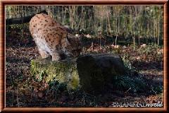 Lynx commun - lynx commun 6