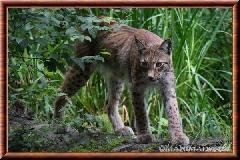 Lynx commun - lynx commun 7