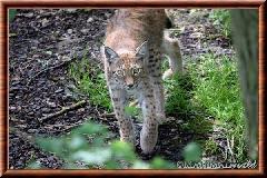 Lynx commun - lynx commun 8
