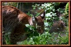 Lynx commun - lynx commun 9