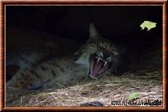 Lynx commun - lynx commun 10