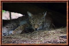 Lynx commun - lynx commun 11