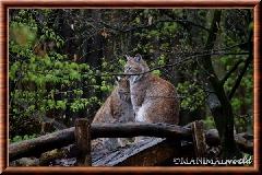 Lynx commun - lynx commun 12