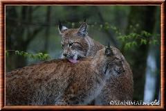 Lynx commun - lynx commun 13