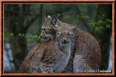 Lynx commun - lynx commun 14