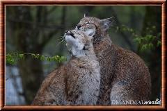 Lynx commun - lynx commun 15