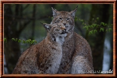 Lynx commun - lynx commun 16