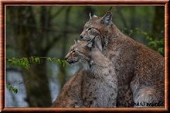 Lynx commun - lynx commun 18