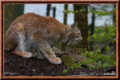Lynx commun - lynx commun 19