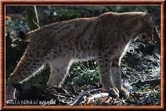 Lynx commun - lynx commun 36