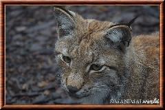 Lynx commun - lynx commun 21