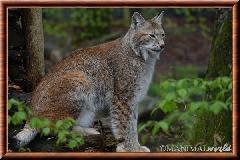 Lynx commun - lynx commun 22