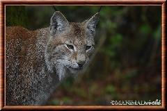 Lynx commun - lynx commun 23