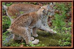 Lynx commun - lynx commun 24