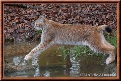 Lynx commun - lynx commun 26