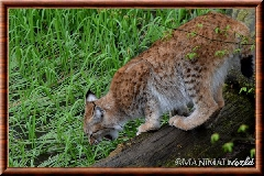 Lynx commun - lynx commun 27