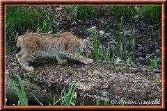 Lynx commun - lynx commun 29