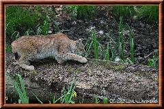 Lynx commun - lynx commun 30