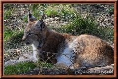 Lynx commun - lynx commun 31